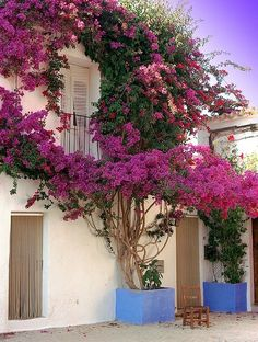 Bougainvillea on a house, Calle San José, Ibiza, Spain