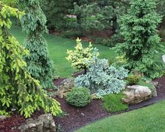 A couple of years ago the Conifer Quarterly had Spruce as the featured conifer. For some reason it got my imagination going and inspired the idea that it might be fun to do an island bed featuring only Spruce cultivars. I was hoping for a riot of color in the Spring. Here's some pics of it from yest...
