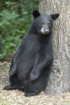 Black Bear Cub Leaning Against Tree, Orr, Minnesota by Breiter, Matthias - Wall Art Giclee Print or Canvas