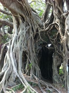 Dame Nature, Black And White Tree, Giant Tree, Unique Trees, Old Trees, Tree Roots, Tree Photography, Fig Tree, Tree Stump