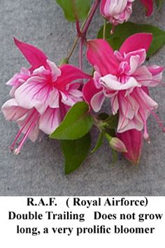 R.A.F. (ROYAL AIR FORCE):    Double trailing. A shorter grower. It seems to pinch itself. Very bushy, profuse bloomer.