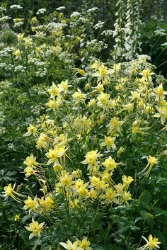 columbine are herbaceous perennials