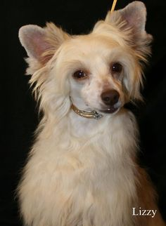 The Chinese Crested Powder Puff   ...........click here to find out more     http://googydog.com