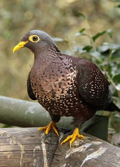 Rameron Pigeon (Columba arquatrix) also called African olive pigeon, South Africa, Saudi Arabia and Yemen