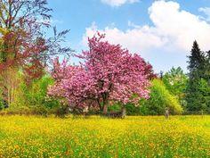 Cherry Tree in field.
