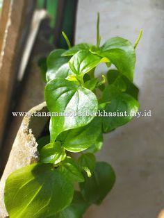 Manfaat Dan Khasiat Daun Tumpangan Air Dan, Plants, Mottos, Plant, Planets