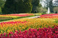 Longwood Gardens Tulips | Red and yellow tulips at Longwood Gardens