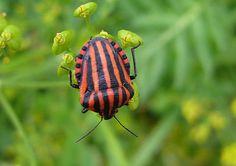 Stripey shield bug