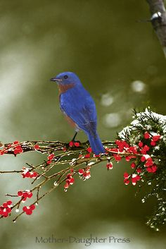 Bluebird, sialia sialias, on winter branch of berries | Mother-Daughter Press