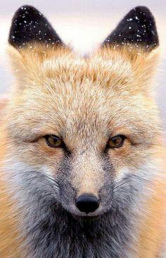 Beautiful fox, love those ears!