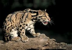 The Clouded Leopard 1