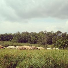 Serious mowing formation #vt #soVT #vermont #sheep #grassfed #sustainablefarming #soilfirst