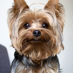 Eliminate Over 30+ Common Behavioral Yorkshire Terrier Issues - yorkshire Terrier #yorkshireterrier
