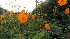 Cosmos flowers are still blooming | Joedigital