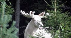 The footage of this huge white bull moose will give you chills and an appreciation for just how beautiful our planet truly is.