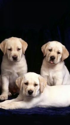 These are some of the best labrador pictures that you should have a look at. These labrador pictures wil insist you to adopt a labrador as soon as possible. Labrador Retrievers, Golden Retriever, Retriever Puppies, Cute Labrador Puppies, Cute Puppies, Dogs And Puppies, Dalmatian Puppies, Baby Puppies, Cute Dog Photos