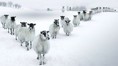 Winter Sheep in a V Formation in the Lake District (© Daniel Eitzen/Getty Images)(Bing United Kingdom)
