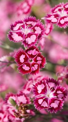 """dianthus. Dianthus flowers (Dianthus spp.) are also called """"pinks."""" They belong to a family of plants which includes carnations and are characterized by the spicy fragrance the blooms emit. Dianthus plants may be found as a hardy annual, biennial or perennia Read more at Gardening Know How: Dianthus Plants: How To Grow Dianthus https://www.gardeningknowhow.com/ornamental/flowers/dianthus/growing-dianthus-plants.htm"""