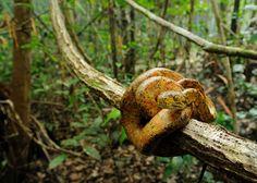 Adult Amazon tree boa (Corallus hortulanus) from Iwokrama, Guyana by Andrew Snyder [great in habitat shot!]