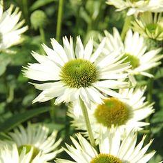 Echinacea purpurea 'Virgin' 2L Solhatt - perenner.se Echinacea purpurea 'Virgin' 2L Solhatt HÖJD: 60 cm  BLOMNING: Juli-Sept  VÄXTPLATS: Sol. Öppna lägen i humusrik lätt och framförallt väldränerad jord.  UTSEENDE: Vita blommor med grön mitt.  EGENSKAPER: Lika fin i rabatt som naturlik prärieplantering. Fjärilsperenn. Fin till snitt.  HÄRDIGHET:  PLANTERINGAVSTÅND: 30 cm Plants, Sun, Plant, Planting, Planets
