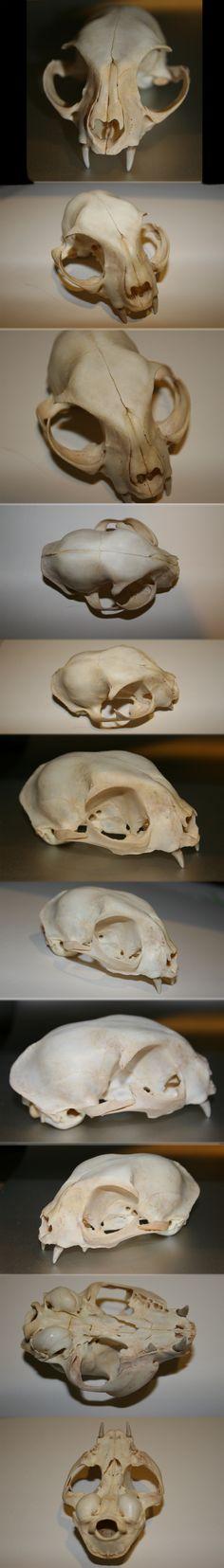 Domestic Cat Skull by Earldense