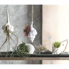 Air plants in seashells!