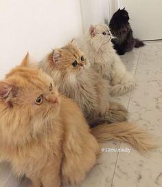 Cette 'Femme aux 12 chats' affole Instagram avec les photos de ses persans - page 4