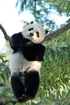 The giant panda (scientific name: Ailuropoda melanoleuca) belongs to the only mammals of the carnivora, the bear family, the giant… Beautiful Creatures, Animals Beautiful, Photo Panda, Animals And Pets, Baby Animals, Panda Lindo, Baby Panda Bears, Panda Wallpapers, Panda Art