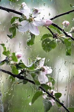 Spring rain and blossom Walking In The Rain, Singing In The Rain, May Flowers, Beautiful Flowers, Rain And Thunderstorms, Smell Of Rain, Dame Nature, I Love Rain, Rain Days