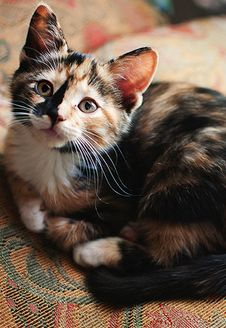 Calico cats always make me want to explain X-chromosome inactivation and Barr bodies to people haha Cute Cats And Kittens, I Love Cats, Crazy Cats, Cool Cats, Kittens Cutest, Funny Kittens, Pretty Cats, Beautiful Cats, Animals Beautiful