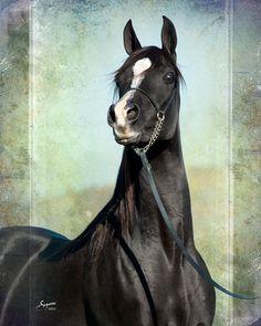 Thee Phoenix (Thee Desperado x April Sonataa)--gorgeous black straight Egyptian Arabian mare.