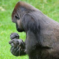mapenzi, le bébé gorille du zooparc de beauval