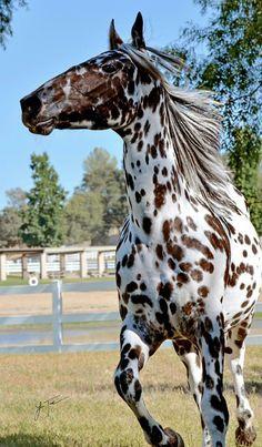 Saddles and Horse Blankets Appaloosa Cute Horses, Pretty Horses, Horse Love, Beautiful Creatures, Animals Beautiful, Animals And Pets, Cute Animals, Wild Animals, Wild Horses Running