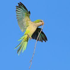 Wild Quaker Parrots of Howard Beach: