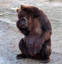 No more photos please for this camera shy bear ~ Cute Animals 4 You Cute Funny Animals, Funny Animal Pictures, Beautiful Creatures, Animals Beautiful, Urso Bear, Funny Bears, Cute Bears, Camera Shy, Momma Bear