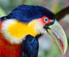 Toucan Brazil, Iguassu by Ricardo Bevilaqua ik Colorful Birds, Brazil, Exotic, Creatures, Zentangles, Beautiful Things, Animals, Chic, Blue
