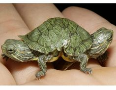 Animal Oddity - Photo of Two-headed Turtle - RWS Photo Blog - Splendour pictures of Borneo