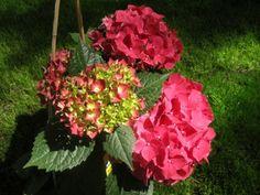 Vermehrung durch Stecklinge  Die Hortensie - Beliebt in fast jedem Garten
