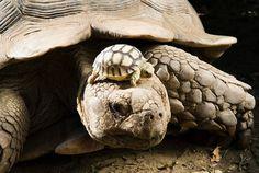 Четырехдневный детеныш африканской черепахи.
