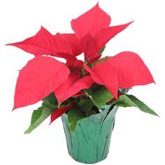 "4"" Poinsettia: Plants & Artificial Flowers : Walmart.com"