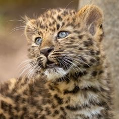 Dorothy, one of the two female Amur leopard cubs born to mom Satka Cute Baby Animals, Animals And Pets, Funny Animals, Wild Animals, Leopard Pictures, Animal Pictures, Baby Cats, Cats And Kittens, Siamese Cats