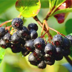 Arónie, zajímavé a zdravé ovoce. Nova, Fruit