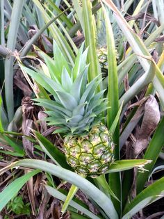 Did you know that pineapples don't grow on trees? They are actually a plant! Originally from South America, spread by the natives of Brazil and Paraguay and eventually reached Central America and the Caribbean where they were cultivated by the Mayan and Aztecs. In Costa Rica pineapple plantations represent a very important industry and we export one of the best quality in the world!
