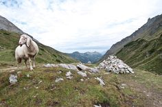 Sheep in the Alps