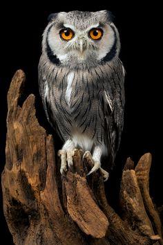 Beautiful owl.  Mark Bridger