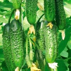 Summer House Garden, Home And Garden, Fruit Bearing Trees, Cactus Plants, Landscape Design, Cucumber, Vegetables, Vineyard, Gardening
