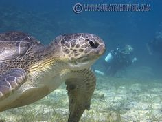 Fabulous photo originally shared by ScubaTechDivers.com: This is our resident dinosaur of a #turtle here in #Cyprus. Many divers have been delighted by the site of this cool dude over the past few weeks. He just munches his grass and looks at us #scubadiving, as if to say... What are you looking at? Reshared by Nikki at pissouribay.com.