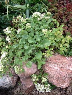 sedum populifolium - in bloom Sedum populifolium