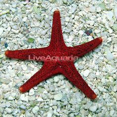 Easy to care for and fun to watch sand shifting sea star for Easy to care for fish