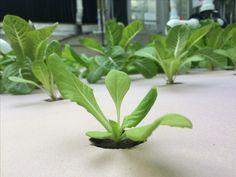 Aquaponic lettuce growing at Kirkwood Community College-Cedar Rapids, Iowa